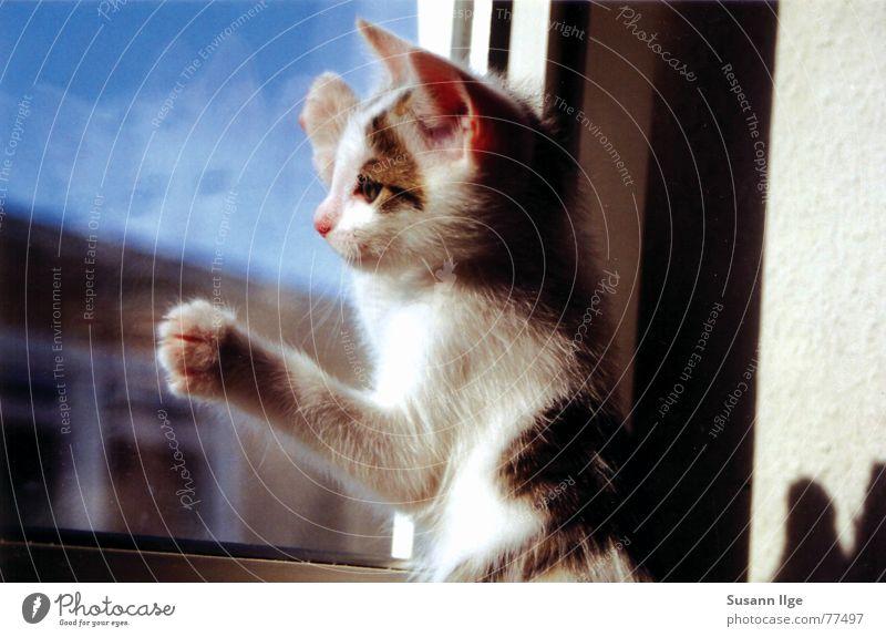 Ich will raus Katze grün Sommer Tier Auge Fenster Spielen Gefühle klein Tierjunges Kraft Glas Häusliches Leben süß Streifen