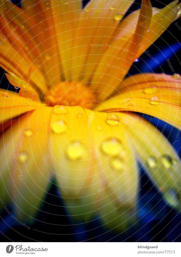 Yellow Blue And Water zart zerbrechlich mehrfarbig sensibel schön Blüte Sommer Pflanze poetisch geheimnisvoll seltsam Märchen Wassertropfen gelb Blütenblatt