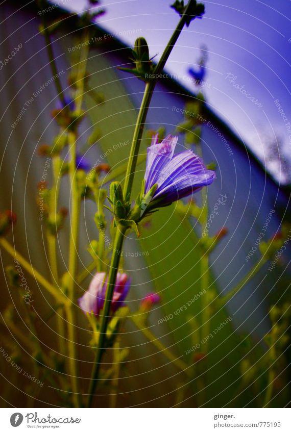 Melancholie Umwelt Natur Pflanze Frühling Blume Wildpflanze grün violett rosa Wachstum Blüte Blütenknospen Container hoch Stengel Farbfoto mehrfarbig