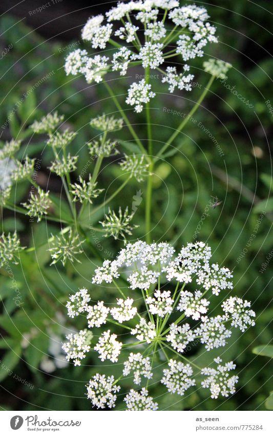 Sommersternchen Natur grün Farbe weiß Pflanze Sommer Blatt Umwelt Wiese Frühling Gras Blüte natürlich Garten Wetter Feld