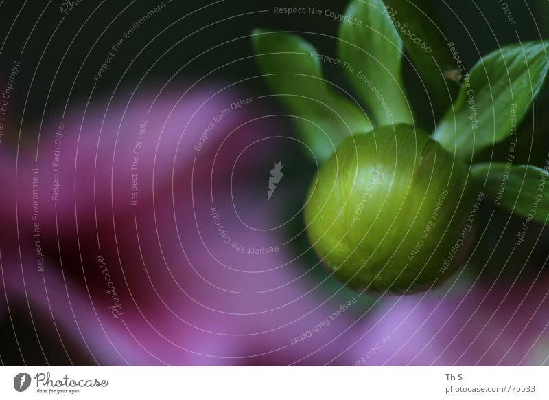 Sommer Natur schön grün Pflanze schwarz Frühling elegant authentisch frisch ästhetisch Blühend violett Gelassenheit Duft harmonisch