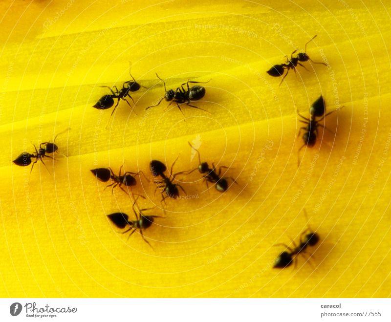 Hormigas schwarz Tier gelb klein Insekt krabbeln Ameise