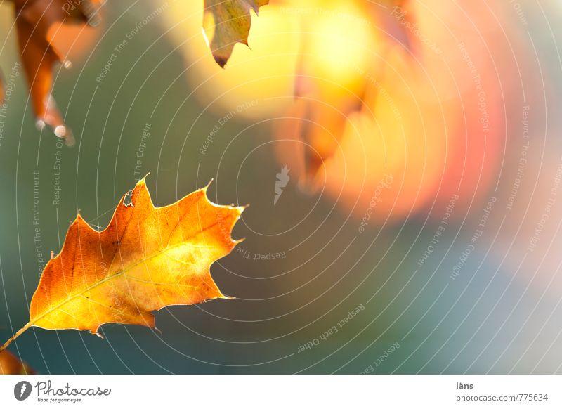 blattgold. Umwelt Natur Pflanze Herbst Blatt Eichenblatt leuchten braun gelb Vergänglichkeit Wandel & Veränderung mehrfarbig Farbfoto Strukturen & Formen