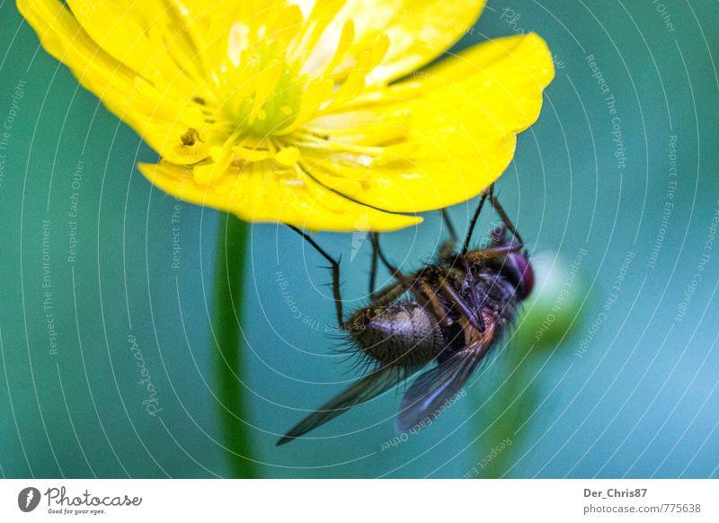 Abhängen Natur Pflanze Tier Frühling Blume Blüte Wildtier Fliege 1 festhalten warten Farbfoto Außenaufnahme Nahaufnahme Makroaufnahme Tag Froschperspektive