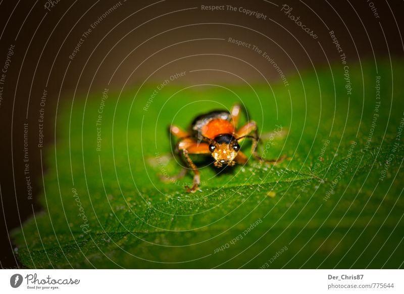 Er kommt näher Natur Blatt Tier Umwelt außergewöhnlich Wildtier warten Perspektive beobachten niedlich Wachsamkeit Käfer krabbeln Ekel Überleben achtsam