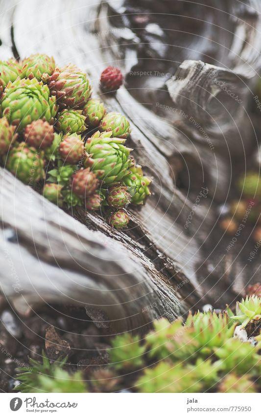 sempervivum Natur schön Pflanze ästhetisch Grünpflanze Treibholz Sempervivum