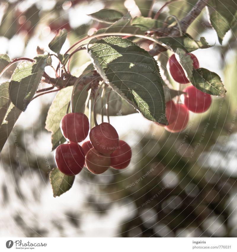 Kirschenzeit Natur grün Pflanze Sommer Baum rot Blatt Gesunde Ernährung Gesundheit Lebensmittel Frucht Wachstum leuchten frisch genießen