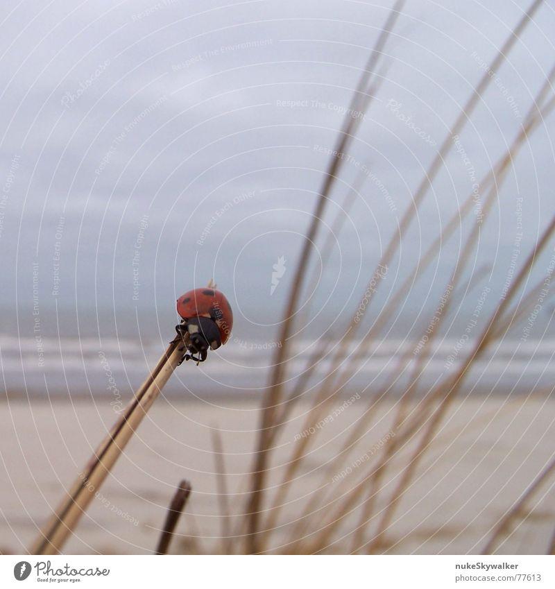 Pünktchen Meer Strand Wolken Küste festhalten Leidenschaft Stranddüne Nordsee verloren Marienkäfer Käfer Abheben schlechtes Wetter Ameland Glücksbringer gewagt
