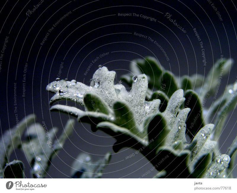 Silberperlen Weihnachten & Advent Pflanze Wasser Winter grau Regen Wassertropfen silber Distel Silberdistel