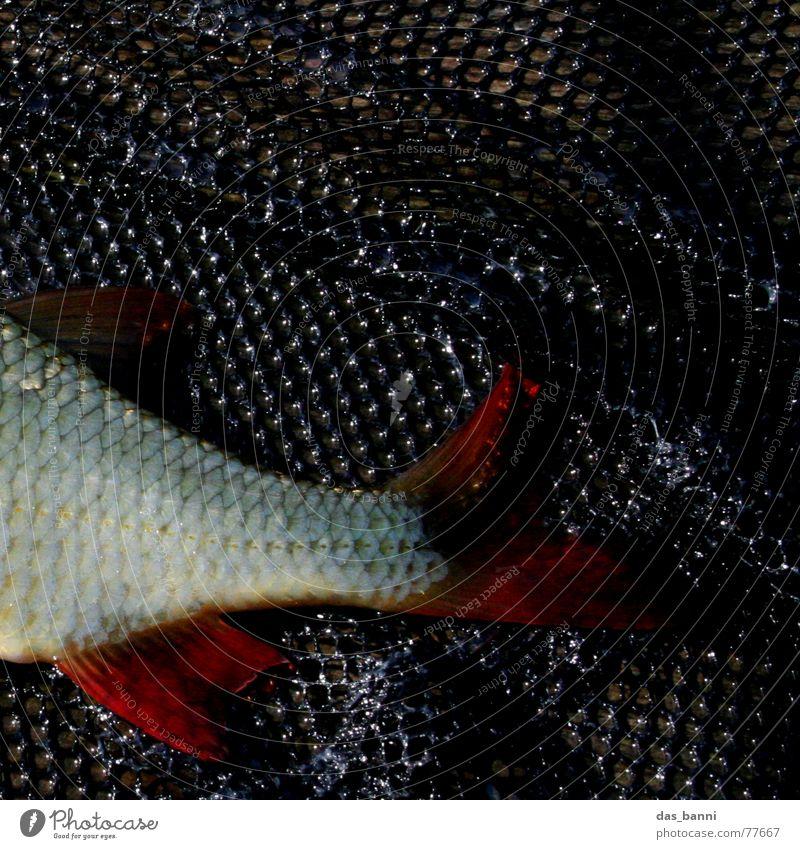 Petri Heil rot schwarz Holz Schleim kalt feucht nass schleimig Angeln Erholung ruhig gefährlich Kescher Rotauge Karpfen Raubfisch See Sommer Köderfisch