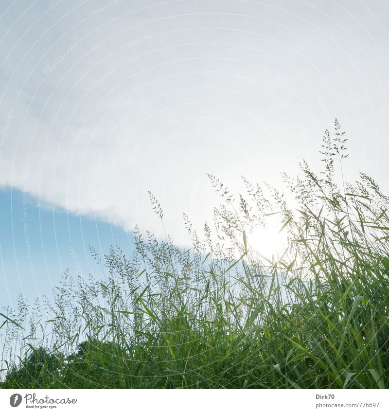 Wiese von unten Natur Pflanze Wolken Gewitterwolken Sonne Sommer Schönes Wetter Baum Gras Blatt Grünpflanze Ähren Halm Feld Weide Blühend leuchten Wachstum