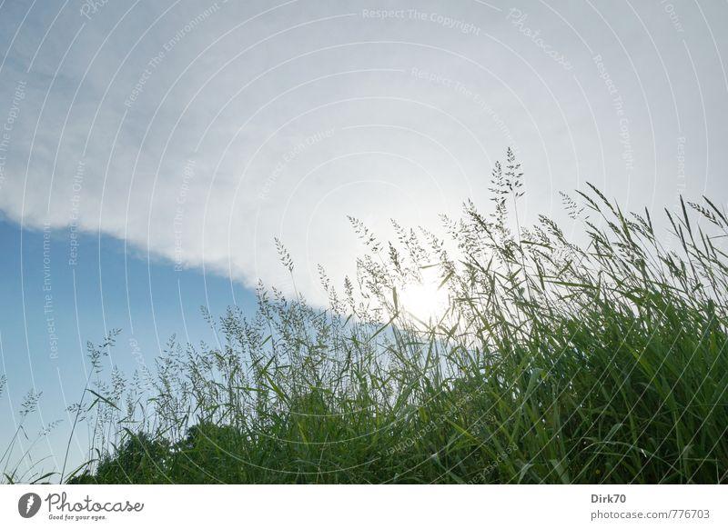 Auf Höhe der Grasnarbe Umwelt Natur Pflanze Wolken Gewitterwolken Sonne Sonnenaufgang Sonnenuntergang Sonnenlicht Sommer Schönes Wetter Halm Ähren Wiese