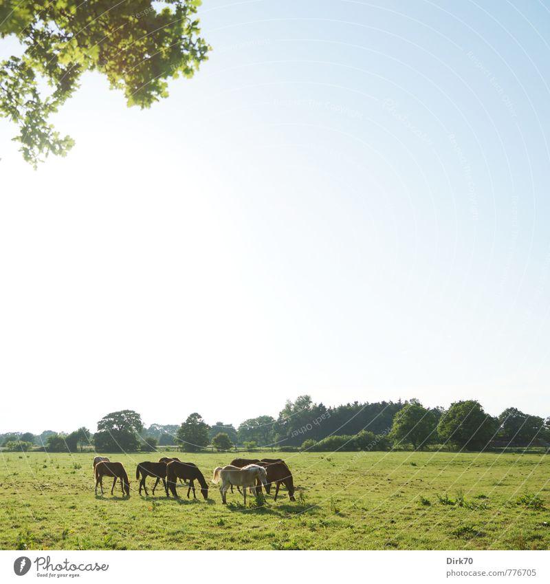 Sommerweide Reichtum Reiten Natur Landschaft Wolkenloser Himmel Sonnenlicht Schönes Wetter Baum Blatt Zweig Wiese Feld Wald Weide Kulturlandschaft Bremen