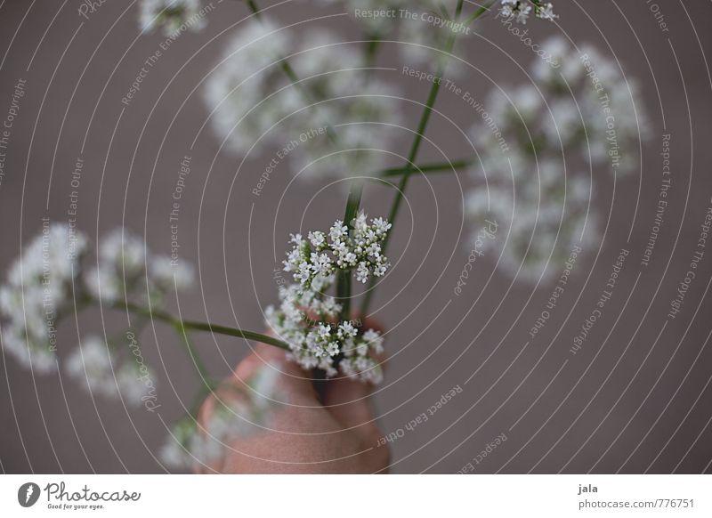 unkraut Pflanze schön Hand Blume feminin Blüte ästhetisch festhalten Wildpflanze Unkraut