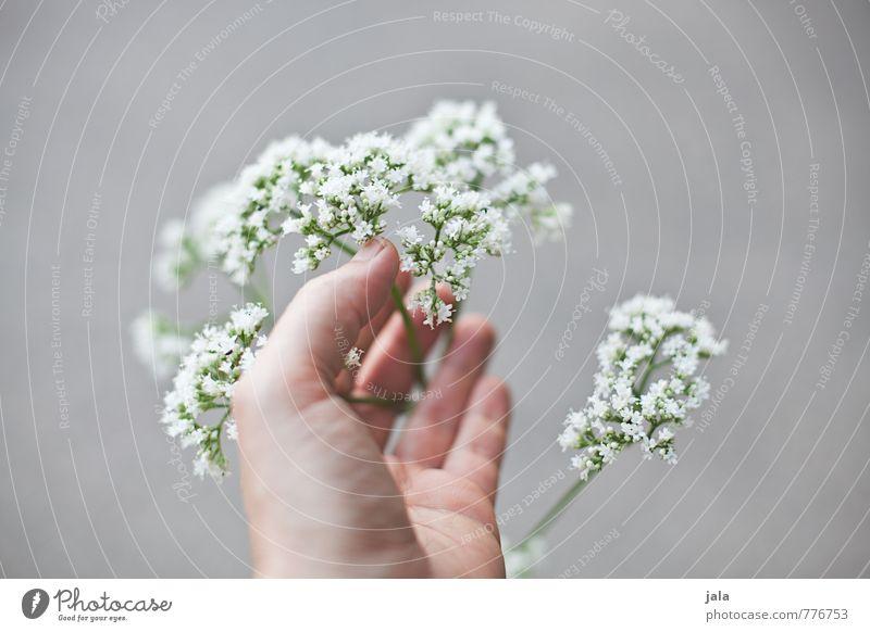 zart schön Pflanze Hand Blume feminin Blüte ästhetisch Finger berühren weich Wildpflanze haltend