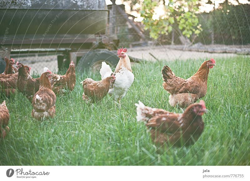 hühnerhof Natur Pflanze Tier Gras natürlich frei Tiergruppe Freundlichkeit Nutztier Grünpflanze Rudel Hahn Hühnervögel Tierfamilie Hühnerstall