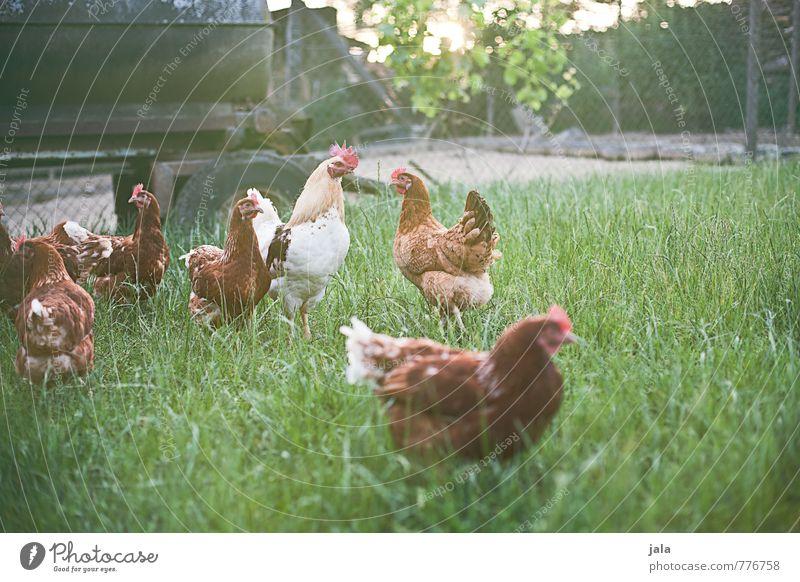 hühnerhof Natur Pflanze Sommer Tier Wiese Gras natürlich Glück frei frisch Tiergruppe gut Hütte Nutztier Rudel Hahn