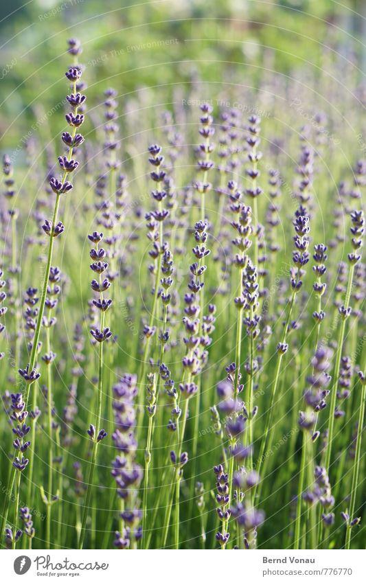 dufte! Natur schön grün Pflanze Wärme Wachstum Sträucher frisch violett Duft Lavendel