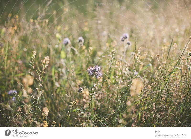 wiese Natur schön Pflanze Sommer Blume Umwelt Wiese Gras natürlich wild ästhetisch Freundlichkeit Wildpflanze
