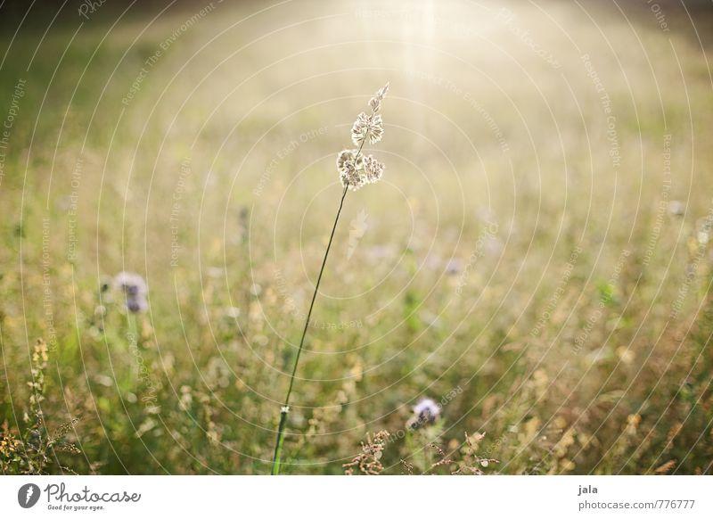 wiese Umwelt Natur Landschaft Pflanze Sommer Schönes Wetter Gras Wildpflanze Wiese natürlich Wärme wild Farbfoto Außenaufnahme Menschenleer Tag Licht Gegenlicht