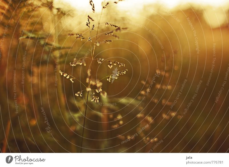 wiese Umwelt Natur Pflanze Sonnenlicht Sommer Gras Blatt Grünpflanze Wildpflanze Wiese schön Farbfoto Außenaufnahme Menschenleer Tag Dämmerung Licht