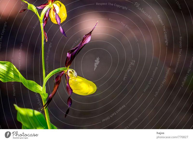 Deutsche Orchideen, Frauenschuh,Cypripedium calceolus Pflanze Blüte Wildpflanze bedrohlich Geborgenheit Orchis wild selten Rote Liste Deutschland