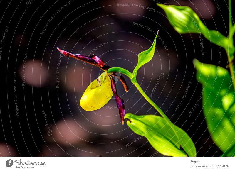 Deutsche Orchideen, Frauenschuh, Cypripedium calceolus Pflanze Blume Blüte Wildpflanze Wald schön gelb grün violett Geborgenheit Orchis wild selten Rote Liste