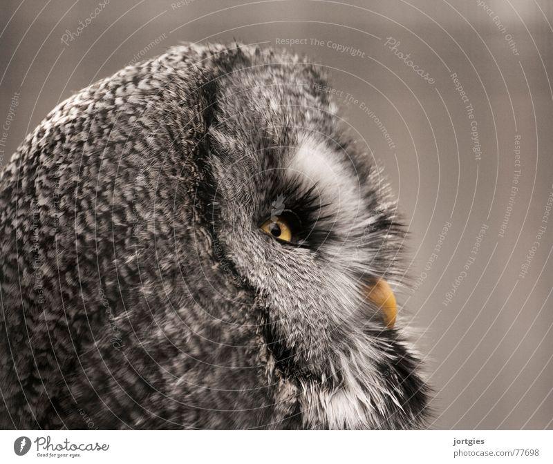 Wachsam Eulenvögel Bartkauz weinen Kauz Vogel Tier Nacht ruhig dunkel nachtaktiv night Auge