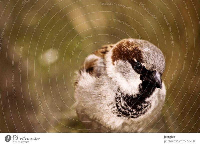 Der Schelm Freude Vogel Sauberkeit Neugier Weisheit gelehrt Spatz Haussperling