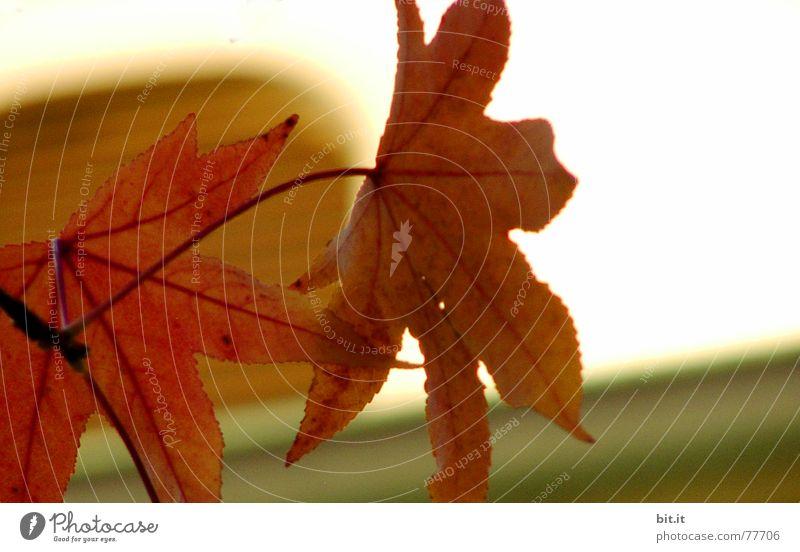 AN schubs Natur Pflanze Herbst Blatt Fenster frisch gelb gold rot weiß schubsen Wand Herbstlaub herbstlich Herbstfärbung Herbstbeginn Herbstwetter Ahorn