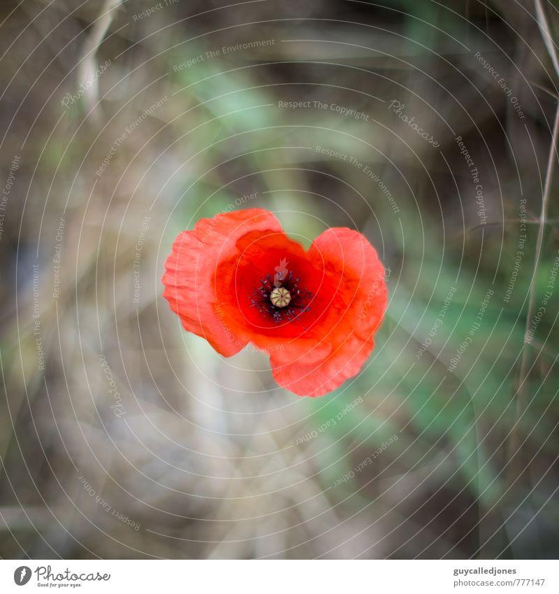Klatschmohn Natur schön Farbe Pflanze Sommer Erholung rot Umwelt Wärme Blüte natürlich Gesundheit Idylle Zufriedenheit frisch ästhetisch