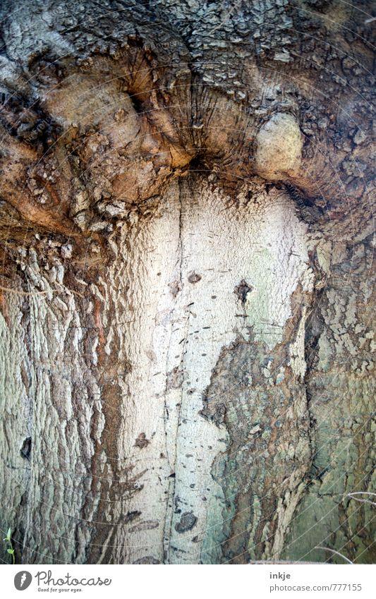 gepfropfte Buche Gartenarbeit Landwirtschaft Forstwirtschaft Natur Baum Baumstamm Baumrinde buchenrinde Wald Wachstum alt außergewöhnlich braun veredeln