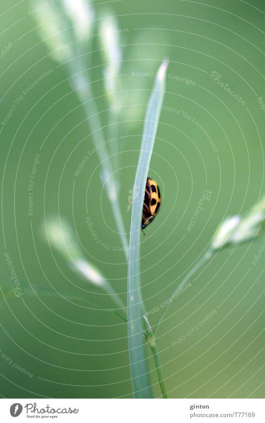 Marienkäfer Natur grün Pflanze Blatt Tier schwarz gelb Wiese Gras klein Feld wild Wildtier nah Käfer Grünpflanze