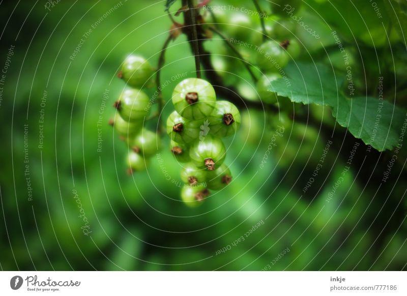 Grün Pflanze Frühling Sommer Sträucher Nutzpflanze Johannisbeeren Johannisbeerstrauch Garten Wachstum frisch grün Farbe reif unreif Farbfoto Außenaufnahme