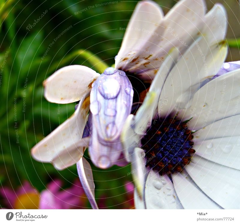 lila Tau Blume Pflanze Blüte nass frisch violett weiß Wachstum Blütenblatt grün Seil blau mia hell Garten Regen Detailaufnahme Perspektive