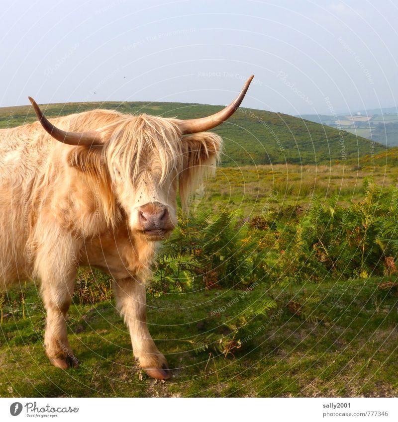 Spielst Du mit mir? Sommer Tier Haare & Frisuren braun Kraft wild stehen groß bedrohlich beobachten Neugier Hügel Landwirtschaft Fell Weide Kuh