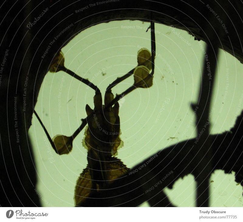 strange ones Tier Insekt Schädlinge krabbeln Lücke undefinierbar unklar unbestimmt dunkel Silhouette geschöpf Schatten bizarr fremdartig außerirdisch