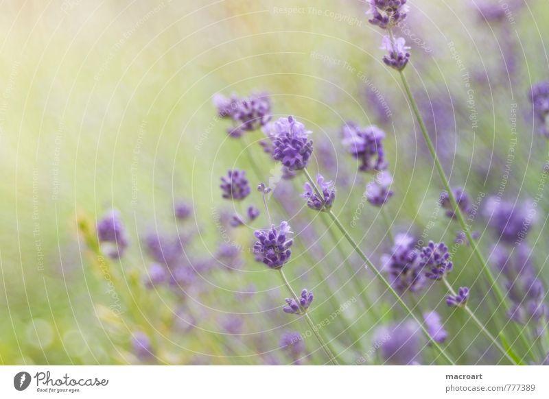 Lavendel Lavendelfeld Blüte lavendula. angustifolia Blume Frühling Sommer Duft Geruch Wellness Erholung Spa Pflanze violett grün Natur natürlich Wohlgefühl