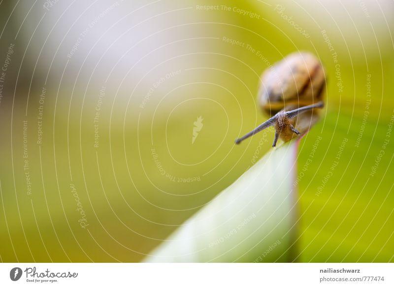 Schnecke Sommer Pflanze Tier Blatt Garten Wildtier 1 krabbeln laufen rennen Fröhlichkeit natürlich Neugier niedlich schleimig schön grün Frühlingsgefühle