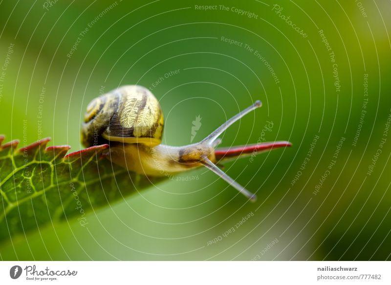 Schnecke Sommer Umwelt Natur Pflanze Tier Frühling Blatt 1 beobachten Fressen krabbeln laufen einfach Fröhlichkeit natürlich Neugier niedlich positiv schleimig