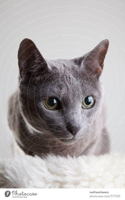 Russisch Blau Katze blau schön Erholung Tier grau elegant Idylle niedlich Freundlichkeit Neugier rein Vertrauen Haustier Hauskatze Interesse