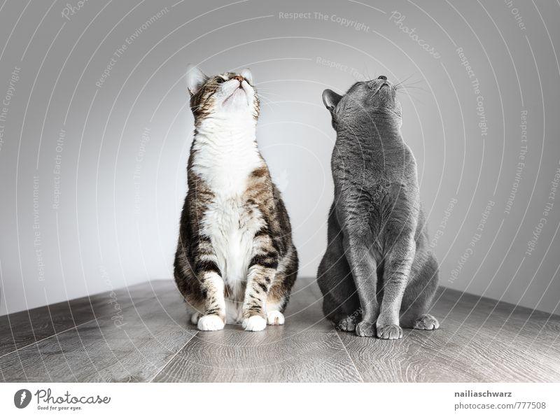 Zwei Katzen elegant Tier kurzhaarig Haustier lustig Neugier niedlich positiv schön blau grau Tierliebe friedlich Interesse Hoffnung Hauskatze portrait porträt