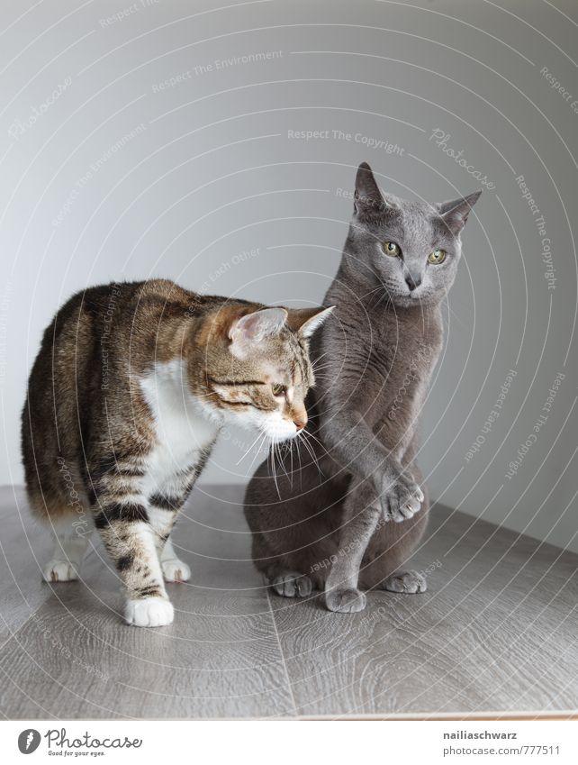 Zwei Katzen elegant Tier kurzhaarig Haustier 2 Tierpaar Tierfamilie beobachten Kommunizieren Neugier niedlich blau grau friedlich Freundschaft Zusammenhalt