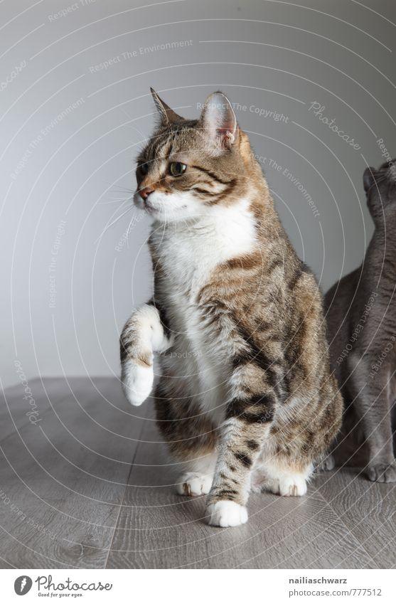Zwei Katzen blau schön Tier grau Freundschaft Zusammensein elegant niedlich Neugier Gelassenheit Haustier Hauskatze frech Sympathie friedlich