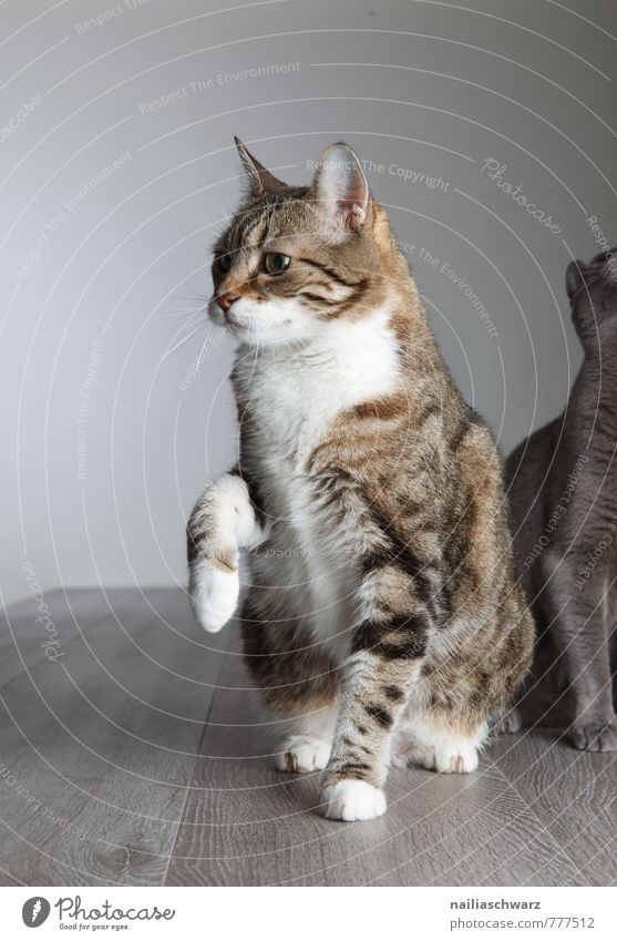 Zwei Katzen elegant Tier kurzhaarig Haustier frech Zusammensein Neugier niedlich schön blau grau Sympathie Freundschaft Tierliebe friedlich Gelassenheit