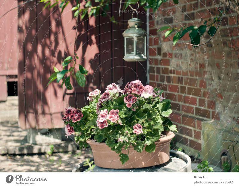 Sommer II Blume Blüte Garten Mauer Wand Tür Blühend Lebensfreude Idylle ruhig Pelargonie Straßenbeleuchtung Windlicht Landleben Nostalgie Holztür verfallen