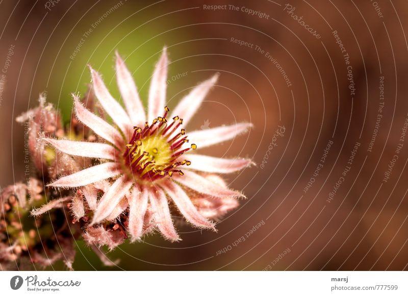 Unscheinbar Natur Pflanze Blüte Hauswurz Sukkulenten Blühend leuchten einfach Erfolg rosa Sempervivum Farbfoto mehrfarbig Außenaufnahme Nahaufnahme