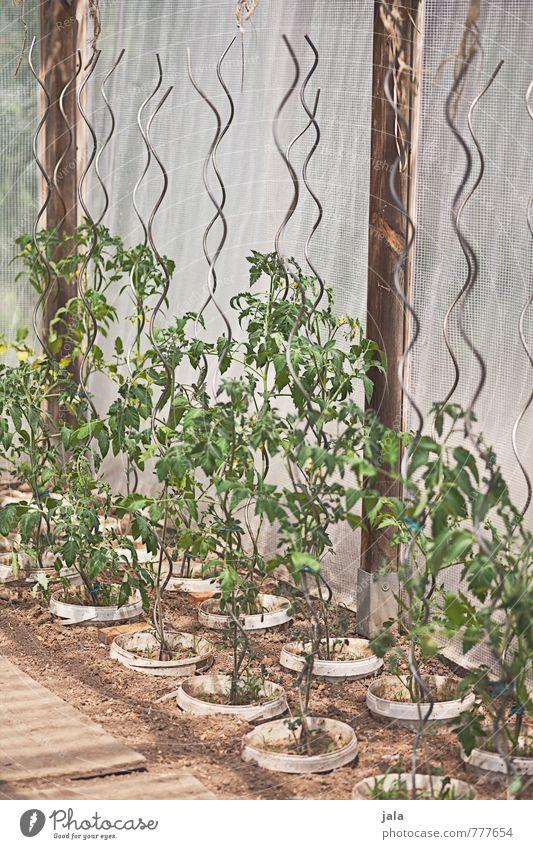 tomaten Pflanze Blatt natürlich Garten Landwirtschaft Forstwirtschaft Gartenarbeit Tomate Grünpflanze Nutzpflanze züchten Topfpflanze Tomatenplantage