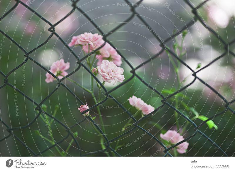 röslein Natur schön grün Pflanze Blume feminin rosa ästhetisch weich Rose Zaun
