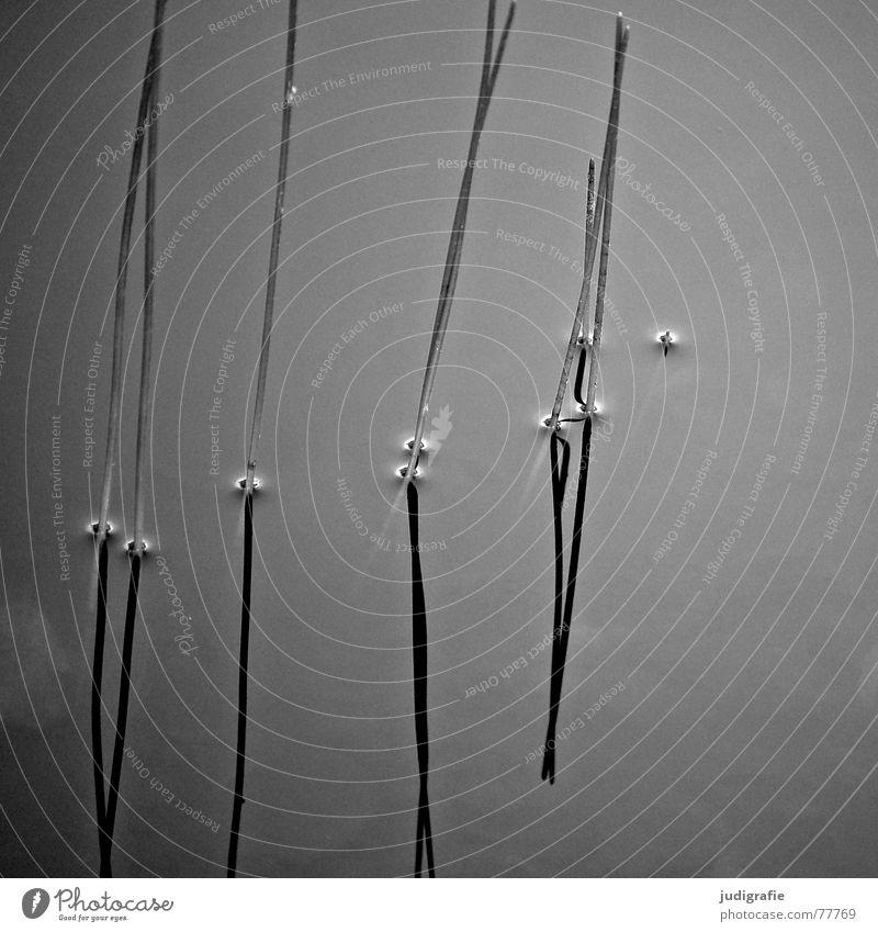 | | | | II See Mineralwasser Gras Stengel Spiegel Reflexion & Spiegelung Wachstum Pflanze Wasseroberfläche ruhig Teich Gewässer Erholung harmonisch vertikal